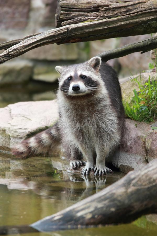 Cute raccoon looking at the viewer royalty free stock photos