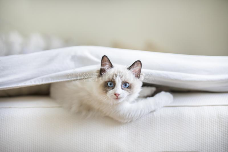 A cute Ragdoll kitten in the bed stock photo