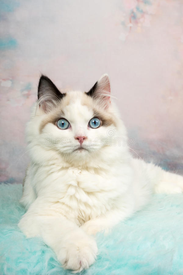 Free Cute Ragdoll Kitten In Flowery Background Royalty Free Stock Photography - 83225777