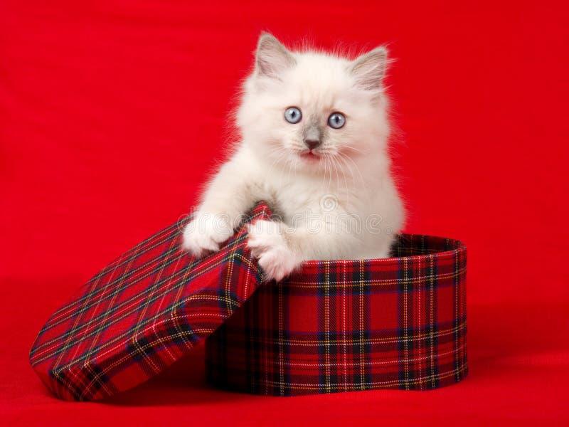 Cute Ragdoll kitten in tartan gift box royalty free stock image