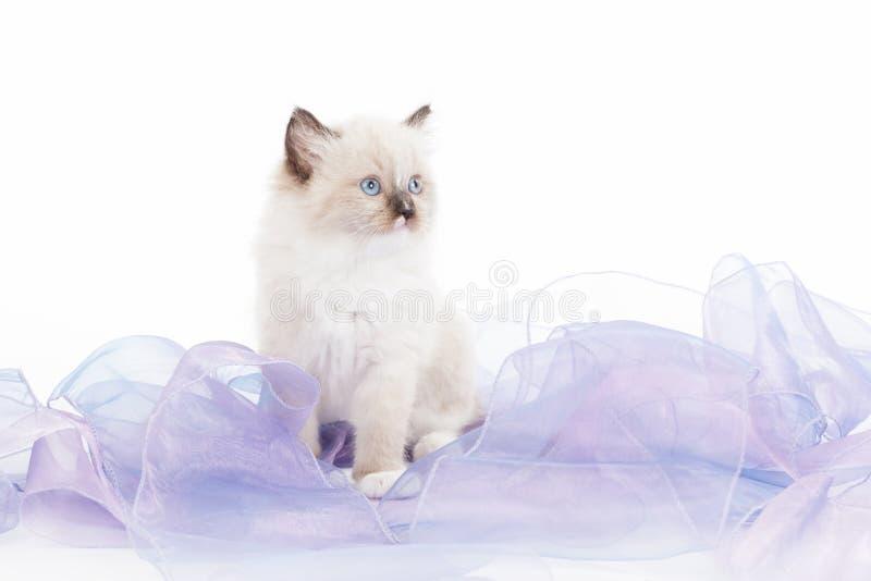 Cute Ragdoll kitten royalty free stock photography