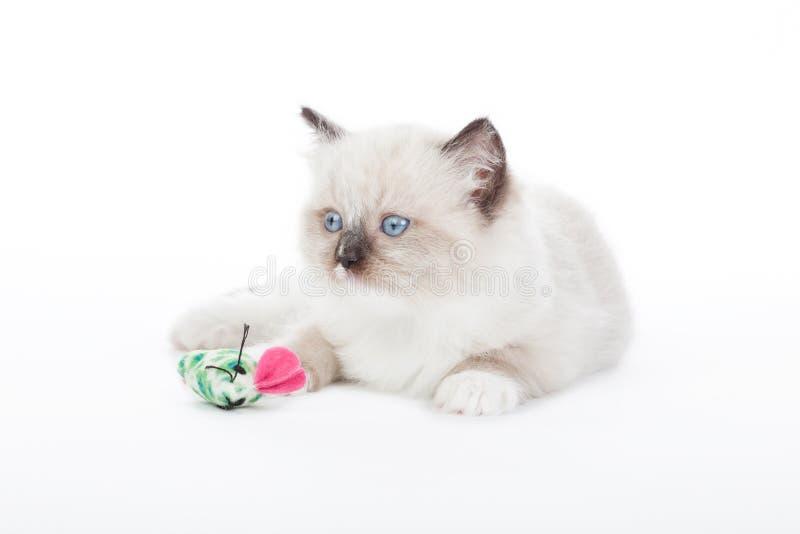 Cute Ragdoll kitten stock photography