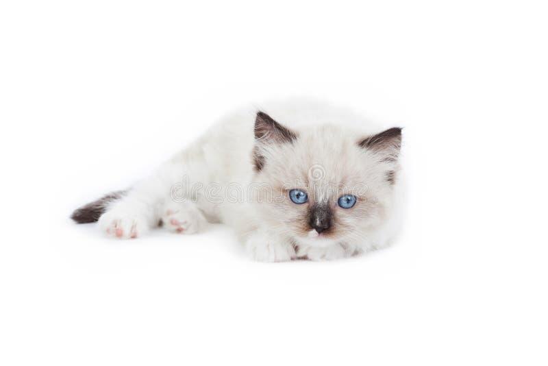 Cute Ragdoll kitten royalty free stock photo