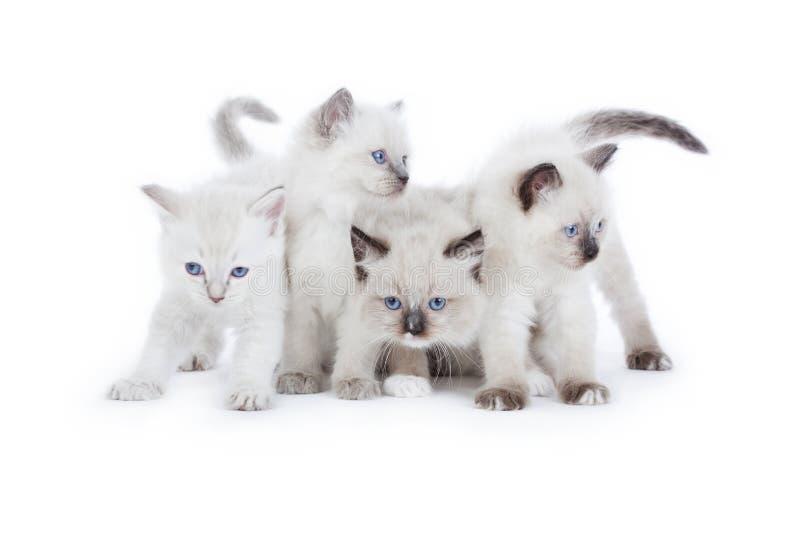 Cute Ragdoll kittens royalty free stock image