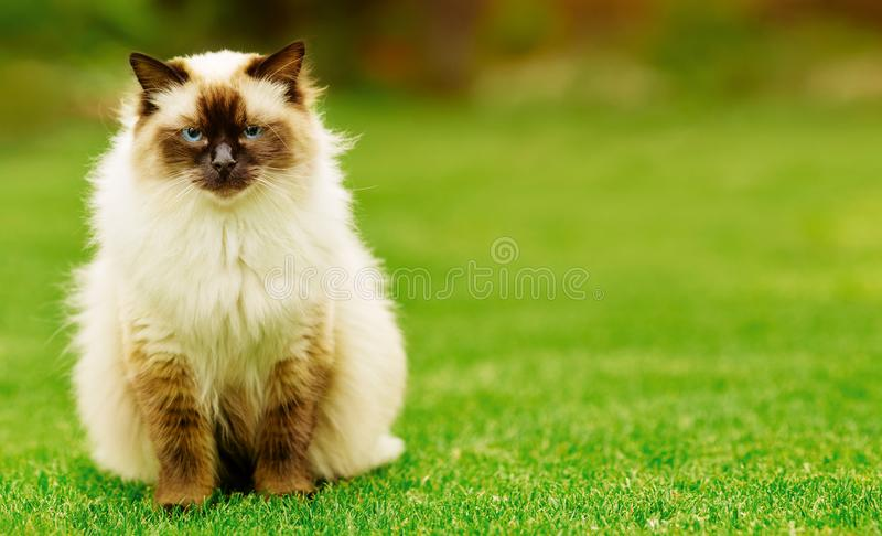 Cute Ragdoll kitty cat with blue eyes sitting straight on grass in a garden. Facing and looking to the camera with free copyspace for your text stock images