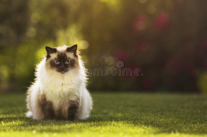 Cute ragdoll kitty cat with blue eyes sitting straight on grass in a garden, facing straight to the camera stock photos