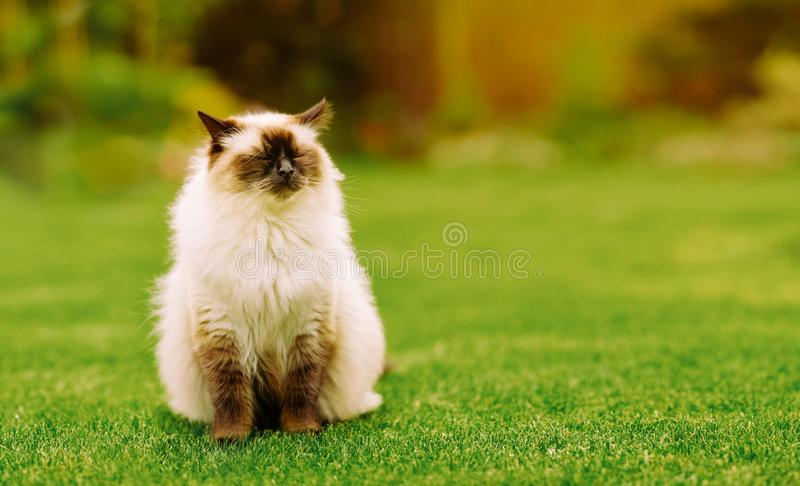 Cute Ragdoll kitty cat with closed eyes sitting straight on grass in a garden royalty free stock images
