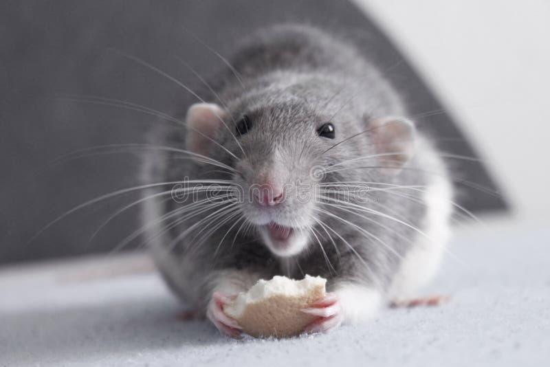 Cute rat stock photo