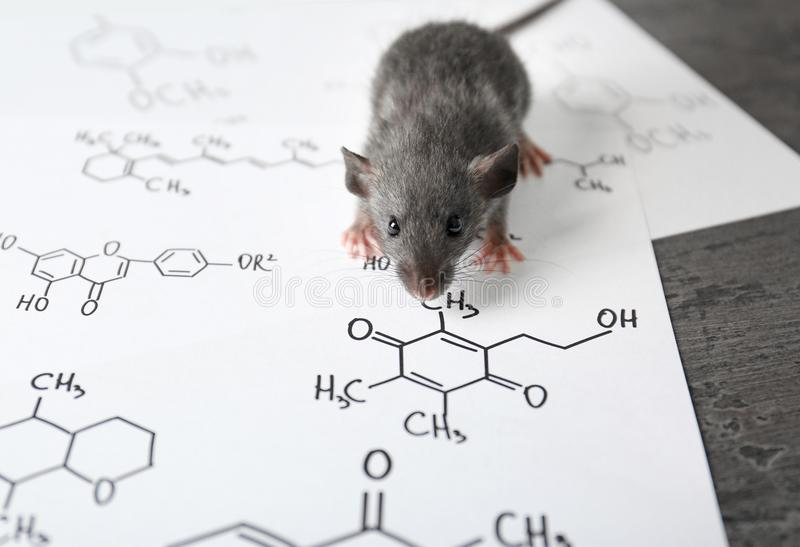 Cute rat on table. In laboratory royalty free stock photos