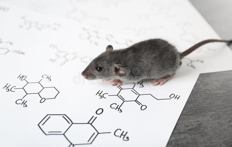 Cute rat on table. In laboratory stock photography