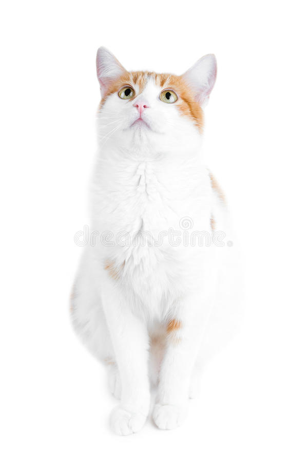 Free Cute Red And White Cat Royalty Free Stock Photo - 14085425