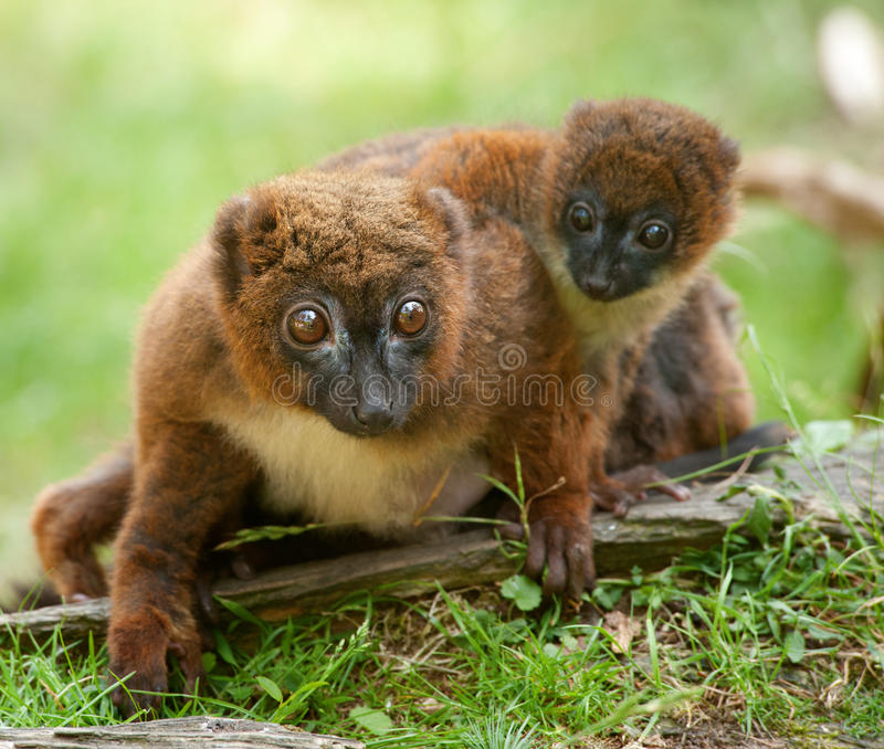 Cute Red-bellied Lemur with baby. (Eulemur rubriventer stock photos
