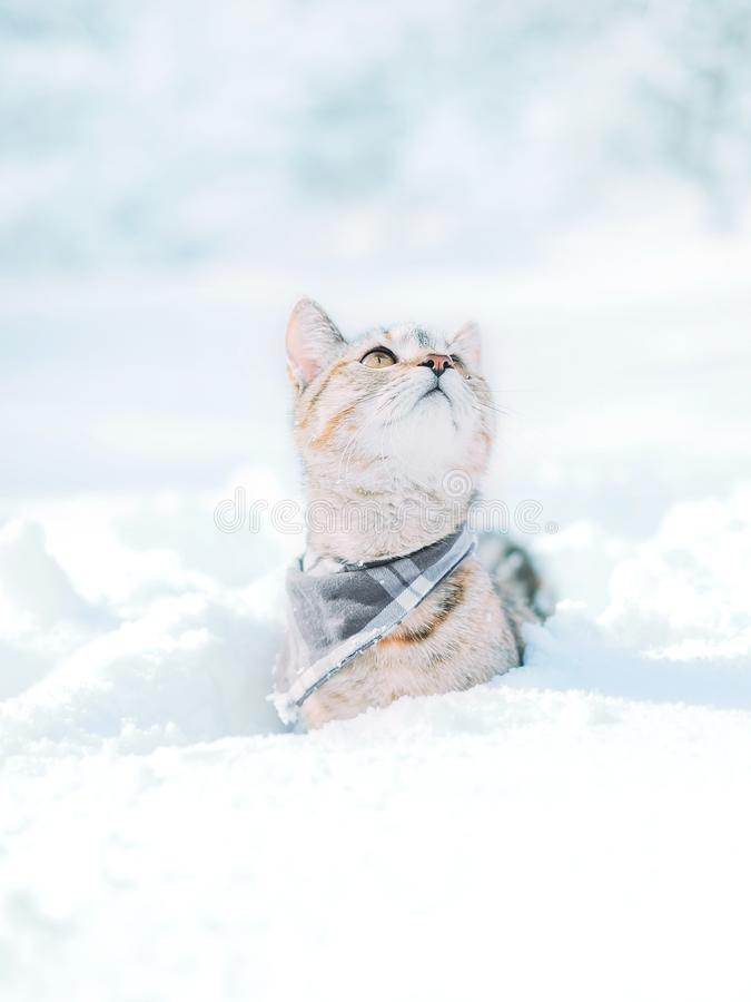 Cute red cat sitting in snowdrift in winter and looking up. Cute explorer tabby red cat wearing in bandana sitting in snowdrift in winter and looking up stock images