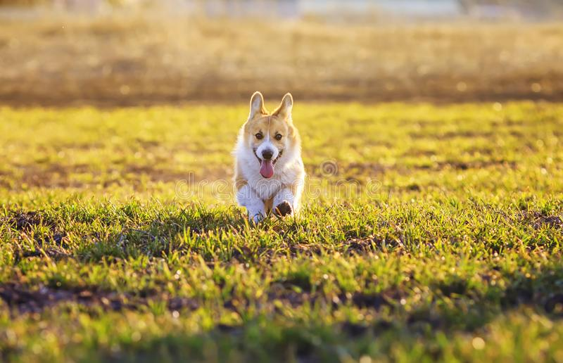Cute red dog puppy Corgi runs merrily on green grass in spring Sunny Park funny sticking out his tongue and throwing up little stock photography