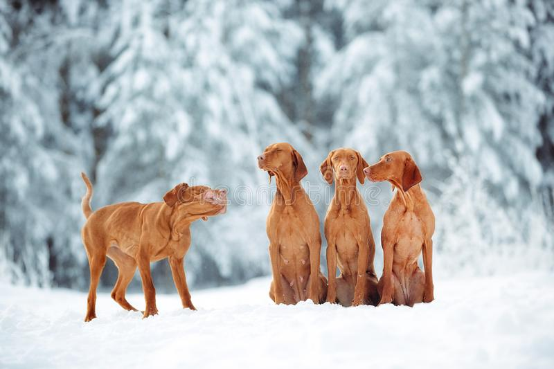 Cute red dog visla sitting in the snow, portrait royalty free stock photos