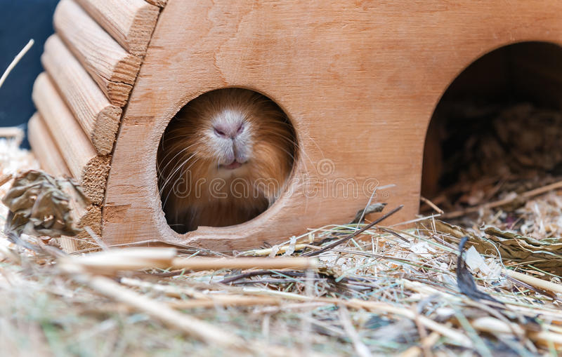 Cute red guinea pig hiding in wooden house royalty free stock photo