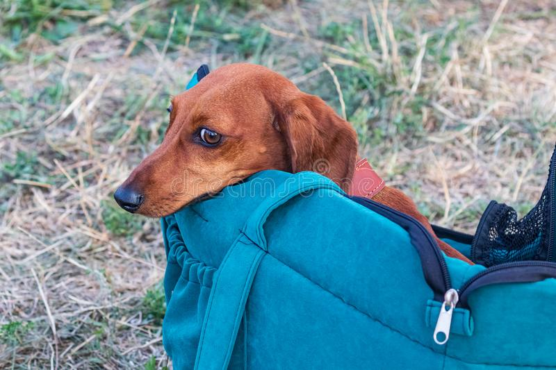 Cute red-haired dog peeks out of an opened blue bag that is standing on the grass. royalty free stock image