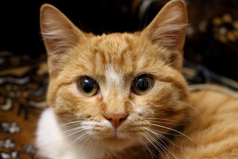 Cute red-headed cat looking at camera. Adorable serious pet. Furry kitty portrait. royalty free stock photo