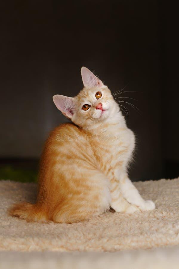 Cute red kitten stock image