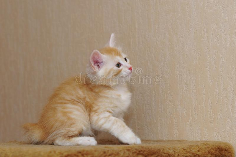 Cute red kitten royalty free stock photo