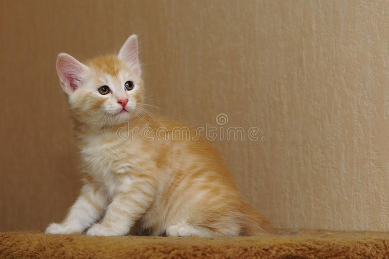 Cute red kitten royalty free stock images