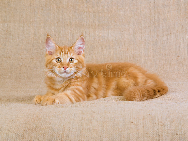 Cute red Maine Coon MC kitten on hessian. Pretty and cute red and white Maine Coon kitten lying on hessian background royalty free stock photo