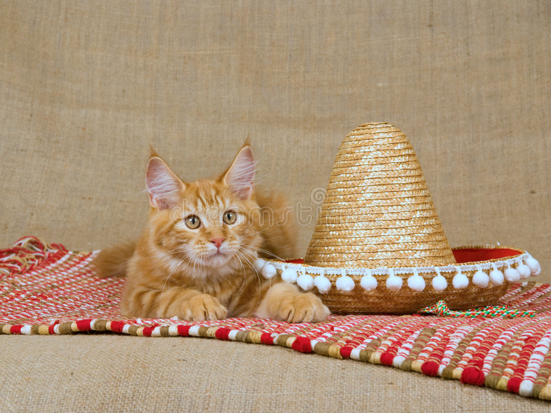 Download Cute Red Maine Coon MC Kitten With Sombrero Stock Image - Image: 8472087