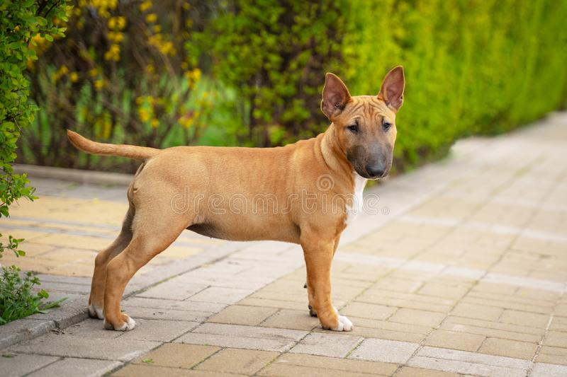 Cute red miniature bull terrier puppy posing outdoors in the park.  royalty free stock image