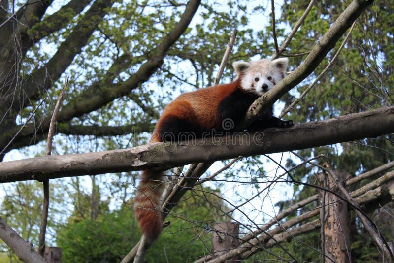 Download Cute Red Panda stock image. Image of looking, face, cute - 19974181