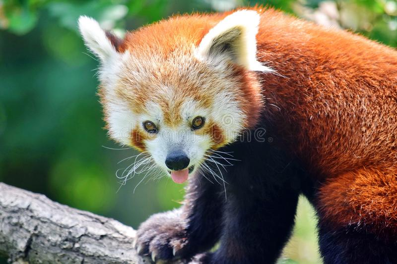 Cute Red Panda Ailurus Fulgens Closeup Portrait Sitting on Branch. In Nature royalty free stock photography