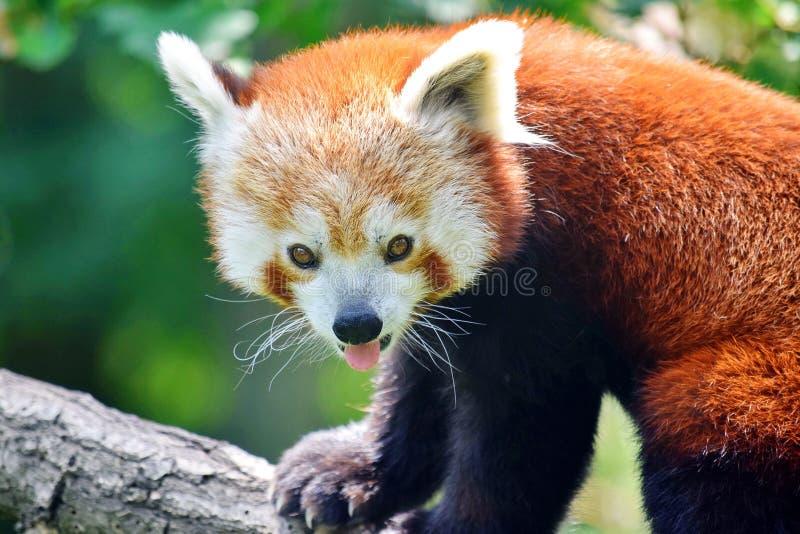 Cute Red Panda Ailurus Fulgens Retrato Fechado Sentado em Ramificação fotografia de stock royalty free