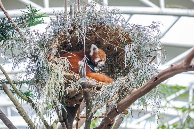 Cute red panda. Lesser panda, ailurus fulgens sitting in the nest among trees in the zoo stock photo