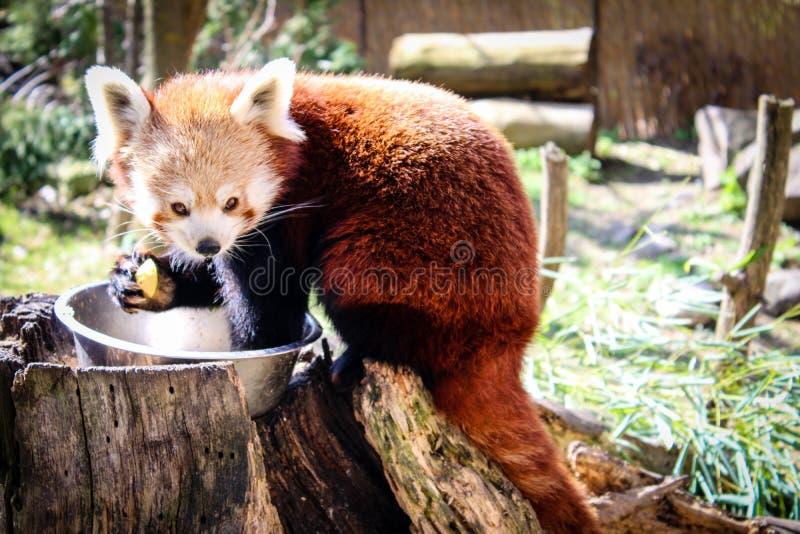 Red panda eating stock image