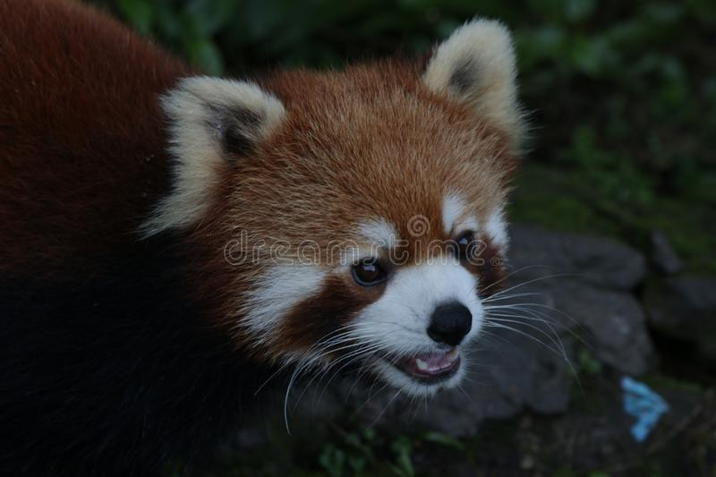 Close up Red Panda. Cute Red Panda is Looking at the Audiences with the thought that The Audiences might give him some treats stock image