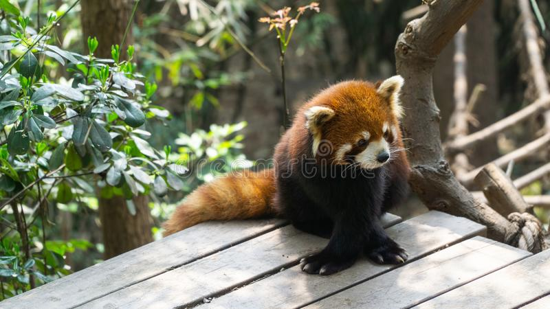 Cute Red panda, a native animal for southwestern China, Central China. Cute Red panda, a native animal for southwestern China, located in Central China royalty free stock image