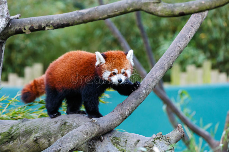 Cute red panda. Photo of a cute red panda on the tree stock photos