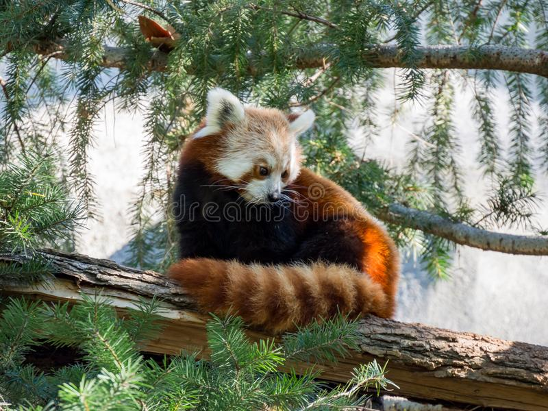 Cute Red Panda sitting on the tree. Sacramento, California stock photo