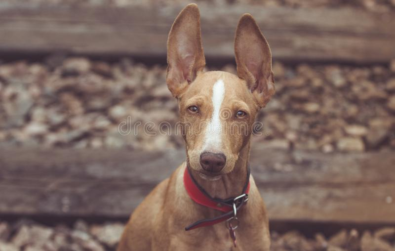Cute red puppy royalty free stock photography