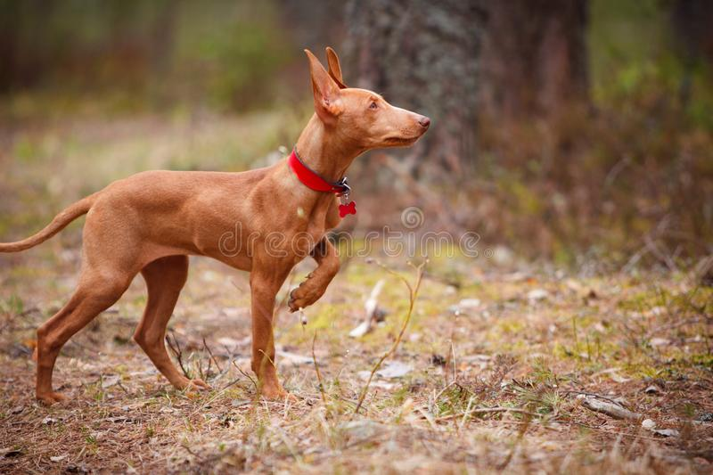 Cute red puppy stock image