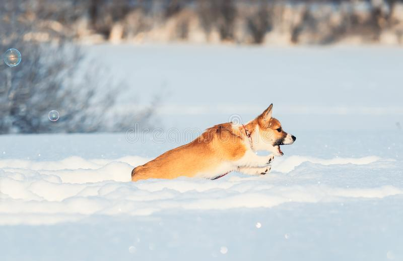 Cute red puppy Corgi funny catches shimmering soap beautiful bubbles in the winter Sunny Park deftly jumping in white snowdrifts royalty free stock image