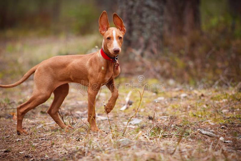 Cute red puppy royalty free stock image