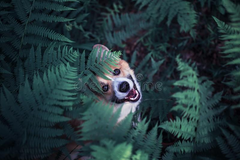 Cute red puppy dog corgi on a walk in the summer park he hid in the thick thickets of fern leaves and peeps funny stock photography