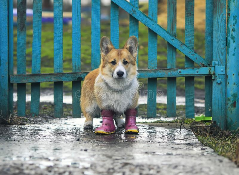 Cute red puppy dog Corgi walks through the puddles in the village in a ridiculous rubber boots after a warm rain in the background royalty free stock images