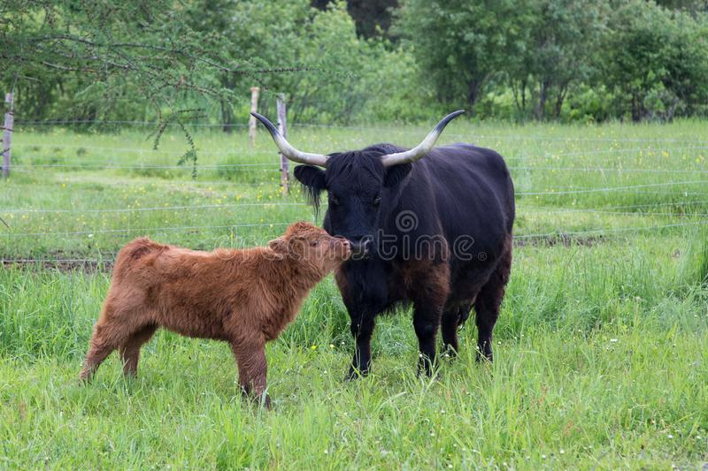 Cute red Scottish Highland calf standing in profile nuzzling its dark mother's nose in a field royalty free stock image