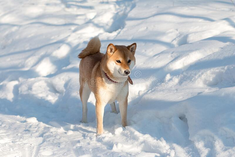 Cute red shiba inu dog in red collar standing on snow in sunny winter day. Portrait of Japanese shiba inu  dog in the snow stock photos