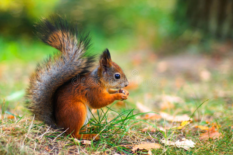 Cute red squirrel autumn fall leaves close up stock photography