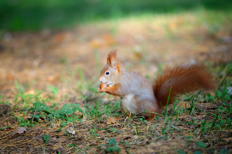 Cute Red Squirrel Eating Nut In Autumn Forest Stock Photo