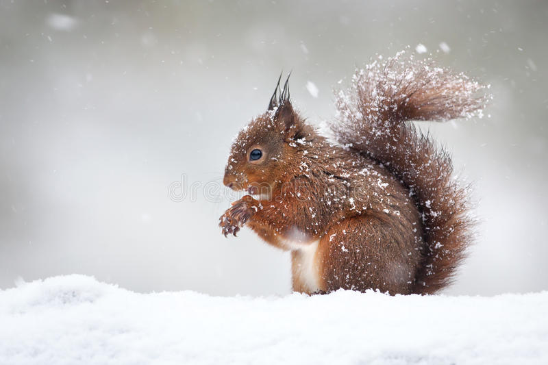 Cute red squirrel in the falling snow, winter stock image