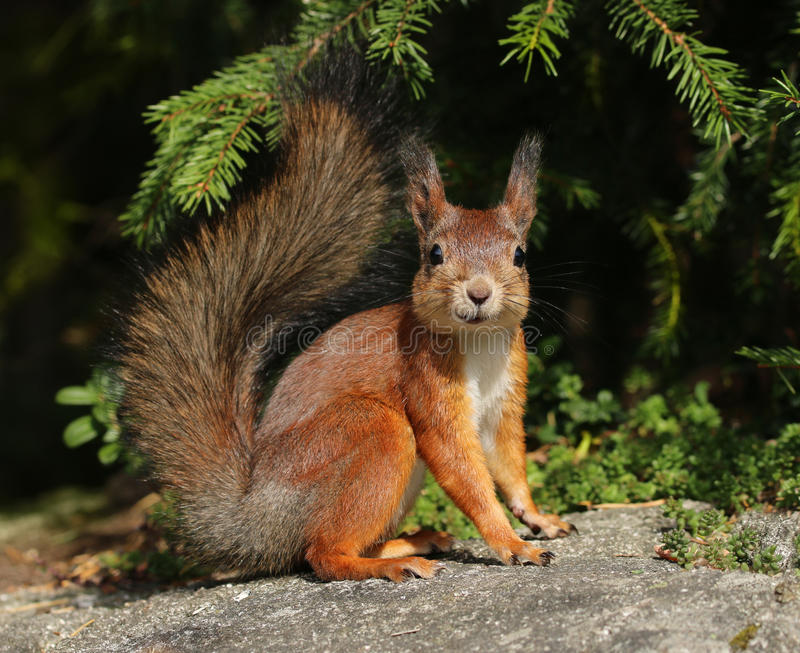Cute red squirrel in forest stock photo