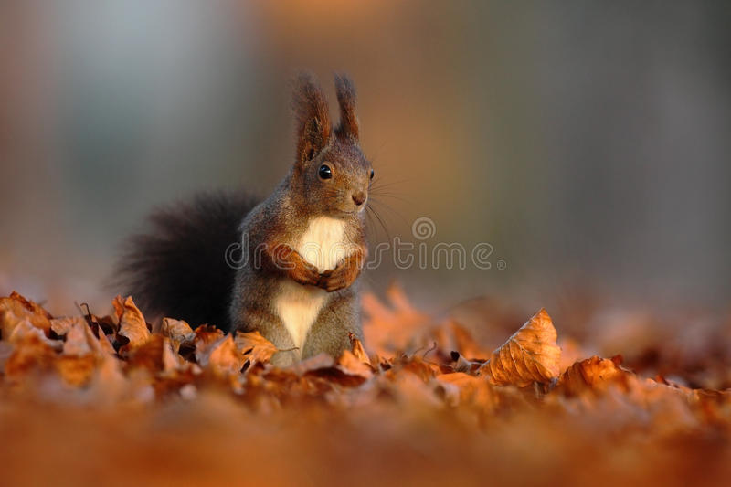 Cute red squirrel with long pointed ears eats a nut in autumn orange scene with nice deciduous forest in the background, hidden in stock photo